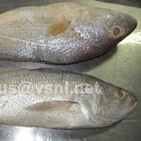 Frozen Croaker Fishes