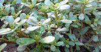 Kulfa Seed