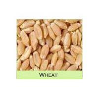 Sortex Wheat