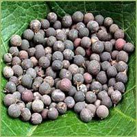 Embelia Ribes Seeds
