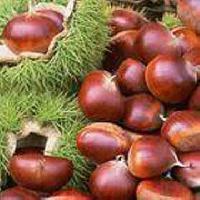Retan Tc Chestnut