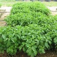 Medicinal Plantation Services
