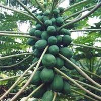 Red Lady Papaya Farming Consultancy Services