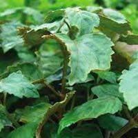 Patchouli Plants