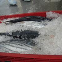 Frozen Skipjack Tuna