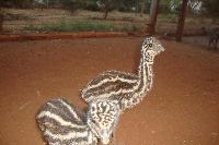 Emu Birds 04