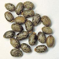 Organic Castor Seed