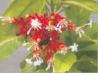 Sarpagandha
