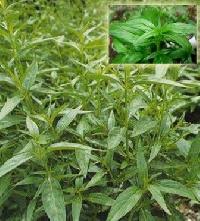 Andrographis Paniculata Dry Extract
