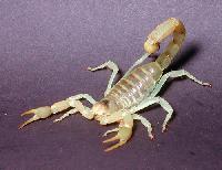 Scorpion Venom
