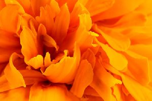Lutein And Marigold