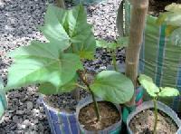 Jatropha sapling
