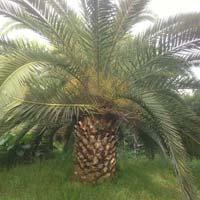 Phoenix Canariensis Plant