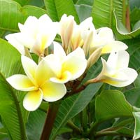 Plumeria Alba Plant