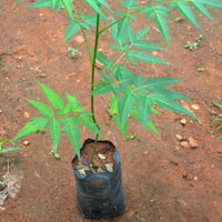 Malabar Neem Seedlings