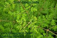 Best Price Moringa Leaves Suppliers