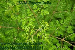 Moringa Tea Cut Leaf