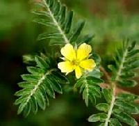 Indian Tribulus Terrestris