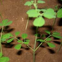 Pure Herbal Moringa Tea Cut Leaf Exporters