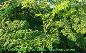 Moringa Tea Cut Leaf