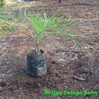 Butia Yatay Palm Plant