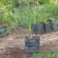 Butiyan Capetila Palm Plant