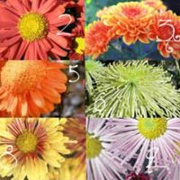 Chrysanthemum Flower Seed