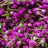 Globosa Flower