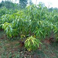 Kesar Mango Plant