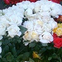 Light Yellow Rose Plant