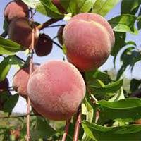 Prunus Persica Seed