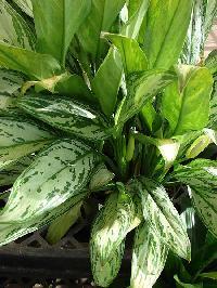 Aglaonema Plant, Indoor Plant