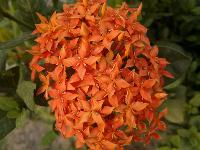 Flower Ixora Plant