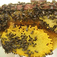 Honey Bee Control Services