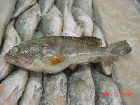 Frozen Reef Cod Fish