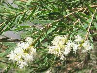 Tea Tree oil in india