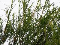 Tea Tree oil online