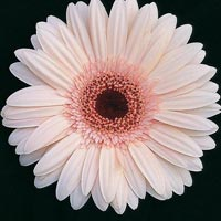 Light Pink Gerbera Flowers