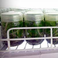 Ornamental Tissue Culture Plant