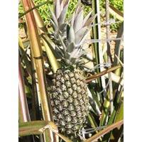 Ananas Comosus-pineapple