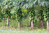 Papaya Plant