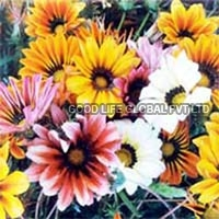 Gazania Splendens Seeds (sunshine Hybrid Mixed)