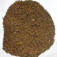 Cassia Tora Seeds