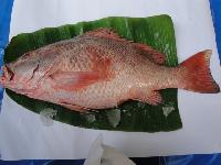 Fresh Chilled Red Snapper Fish