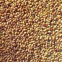 Lucerne Seeds - Alfalfa Seeds
