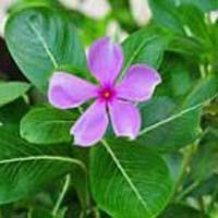 Catharanthus Roseus Plant