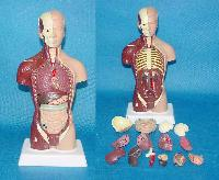pvc human anatomical models