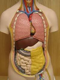 torso model