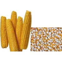 Hybrid Yellow Maize Seeds
