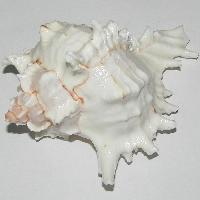 Natural Kurma Shankh Conch Sea Shell - A0350-06